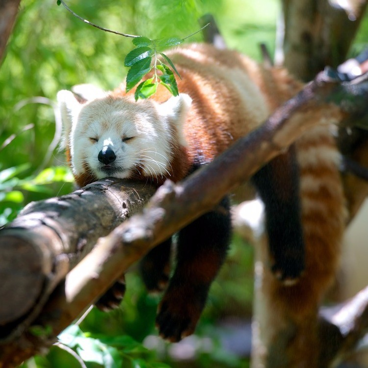 Animal sleeping in a tree