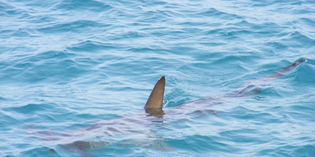 Small shark swimming just below surface of water with fin above water.
